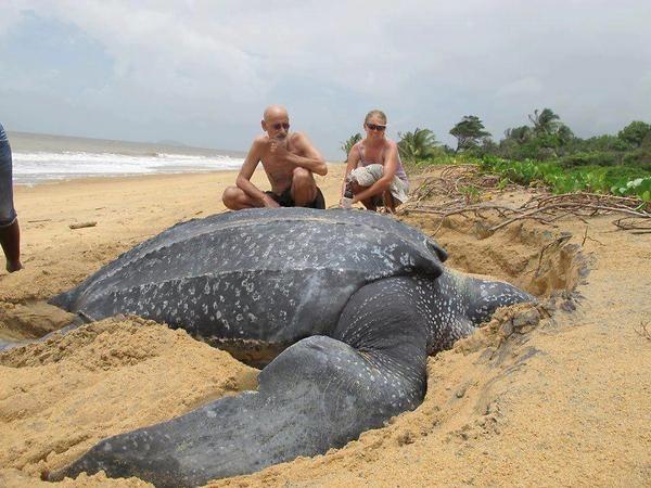 実在した巨大生物・オサガメ